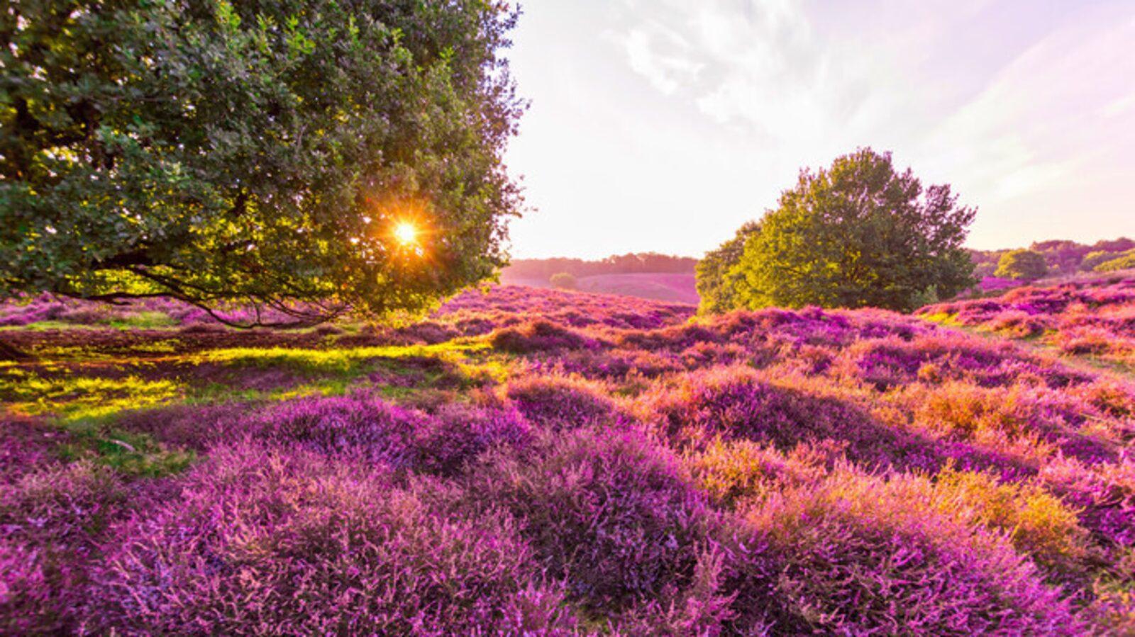 The purple carpet of blooming heather, experience weeks